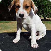 Adopt A Pet :: Alice - Goodyear, AZ