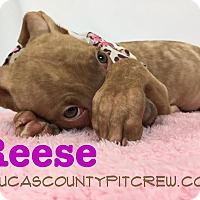 Adopt A Pet :: Reese - Toledo, OH
