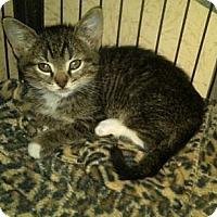Adopt A Pet :: Omar (bottle baby) - Sterling Hgts, MI
