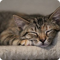 Adopt A Pet :: Tyra - Arlington/Ft Worth, TX