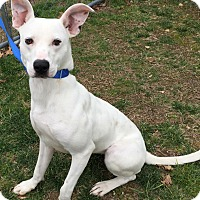 Whippet Mix Dog for adoption in Morehead, Kentucky - Justice
