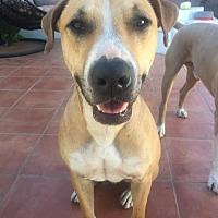 Adopt A Pet :: Kai the Shepherd - Santa Monica, CA
