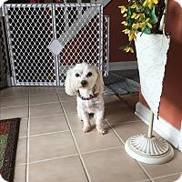 Adopt A Pet :: Harper - Indianapolis, IN