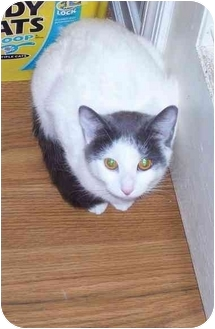 Domestic Shorthair Cat for adoption in Odenton, Maryland - Lady Luck