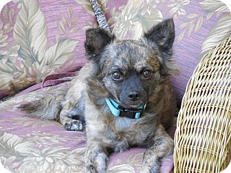Chihuahua Dog for adoption in Ormond Beach, Florida - Harry