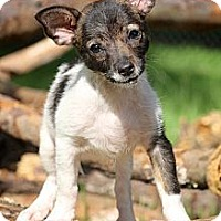 Adopt A Pet :: Isabelle - Albany, NY