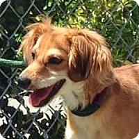 Adopt A Pet :: Cheeky - Port Washington, NY