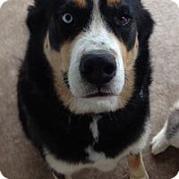 Adopt A Pet :: Kodi - Plano, TX