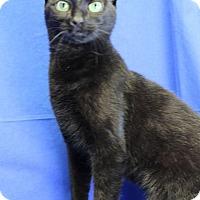 Domestic Shorthair Cat for adoption in Winston-Salem, North Carolina - Puma