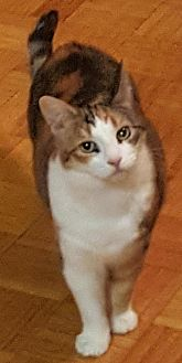 Domestic Shorthair Cat for adoption in Sunderland, Ontario - Daisy