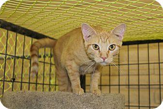 American Shorthair Cat for adoption in Redding, California - Peaches