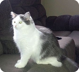 Domestic Longhair Cat for adoption in Mount Pleasant, South Carolina - Coco