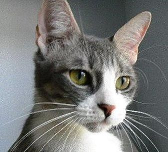 Domestic Shorthair Cat for adoption in Kingwood, Texas - Isabel
