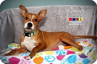 Australian Shepherd Mix Puppy for adoption in Santa Fe, Texas - Bunny