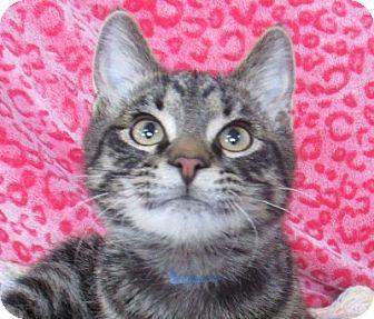 Domestic Shorthair Cat for adoption in Lloydminster, Alberta - Norvin