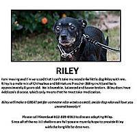 Miniature Pinscher/Chihuahua Mix Dog for adoption in Gilbert, Arizona - Riley