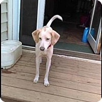 Adopt A Pet :: Gretel - Gorgeous Beagle Hound Girl! - North Creek, NY