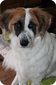Springer Spaniel Mix Dog for adoption in Naperville, Illinois - Bandit