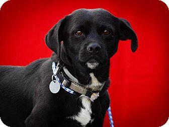 Corgi/Labrador Retriever Mix Dog for adoption in Los Angeles, California - Otis
