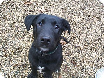 Labrador Retriever/Collie Mix Puppy for adoption in Fennville, Michigan - Timber