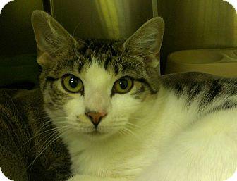 Domestic Shorthair Cat for adoption in Richboro, Pennsylvania - Celine Dion
