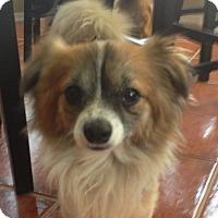 Adopt A Pet :: Sheldon - Gilbert, AZ