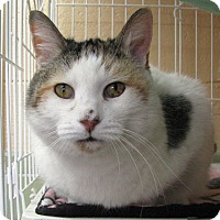 American Shorthair Cat for adoption in Albuquerque, New Mexico - Dutchess