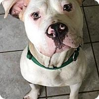Adopt A Pet :: Liberty Bell - Kansas City, MO