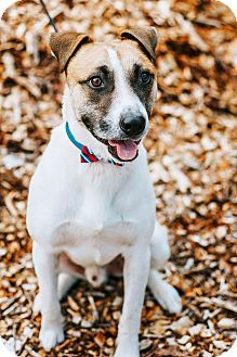Shepherd (Unknown Type) Mix Dog for adoption in Knoxville, Tennessee - Willy
