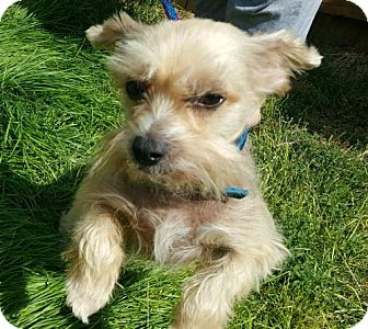 Chinese Crested Dog for adoption in Kingston, New York - Cinnamon (WY)