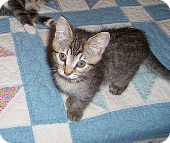 Domestic Shorthair Kitten for adoption in Taylor Mill, Kentucky - Sigourney-Kitten born Sept