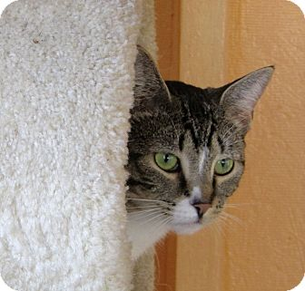 Domestic Shorthair Cat for adoption in Port Jervis, New York - Stream