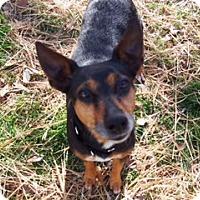 Adopt A Pet :: Juniper - Westminster, MD