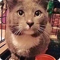 Adopt A Pet :: Murphy - handsome blue tuxedo! - Tucson, AZ