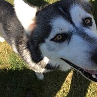 Adopt A Pet :: Simon - Crystal Lake, IL