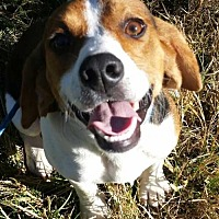 Adopt A Pet :: Boomer - Foristell, MO