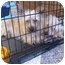 Photo 1 - Coton de Tulear/Silky Terrier Mix Dog for adoption in East Brunswick, New Jersey - ADOPTION PENDING