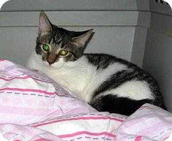 Domestic Shorthair Kitten for adoption in Kirkwood, Delaware - Daisy
