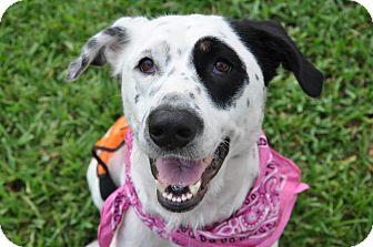 Labrador Retriever Mix Dog for adoption in Miami, Florida - Panda