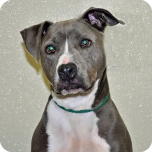 Pit Bull Terrier Dog for adoption in Port Washington, New York - Cloud