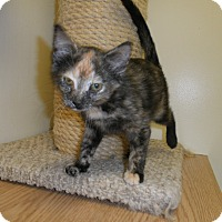 Adopt A Pet :: Whippet - Milwaukee, WI