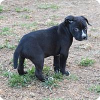 Adopt A Pet :: Clarke - Ijamsville, MD