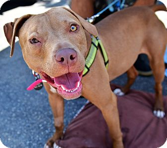 Pit Bull Terrier/Vizsla Mix Dog for adoption in Santa Monica, California - Cinnamon