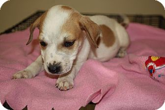 Hound (Unknown Type)/Terrier (Unknown Type, Medium) Mix Puppy for adoption in LEXINGTON, Kentucky - CLARK