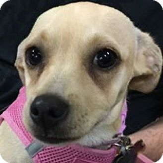 Dachshund/Terrier (Unknown Type, Small) Mix Puppy for adoption in Houston, Texas - Ivory Iron