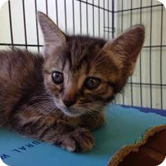 Domestic Mediumhair Cat for adoption in Port Richey, Florida - Tiger Lilly
