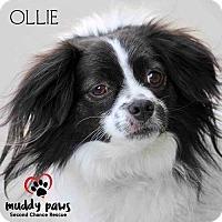 Adopt A Pet :: Ollie - Council Bluffs, IA