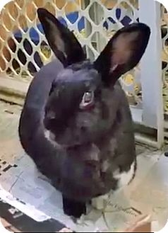 American Mix for adoption in Fairfax, Virginia - Cookie