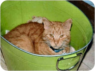 American Shorthair Cat for adoption in Cleveland, Ohio - Alani