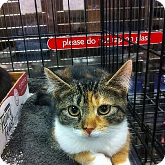 Domestic Shorthair Kitten for adoption in Pittstown, New Jersey - Cassie